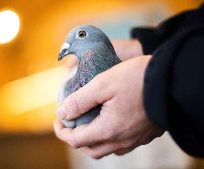 नीलामी में बेल्जियम के रेसिंग कबूतर ने बनाया रिकॉर्ड, जानें कितने करोड़ की लगी बोली