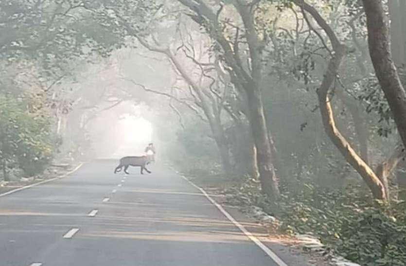 पीलीभीत: टाइगर रिजर्व से बाहर रिहायशी इलाके में दिखा बाघ, सोशल मीडिया पर वीडियो वायरल, वन विभाग अलर्ट