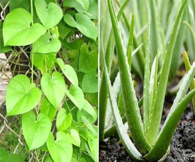 उत्तर प्रदेश के प्रत्येक जिले में विकसित होगी औषधि वाटिका, जानिए कौन-कौन से रोपे जाएंगेे पौधे