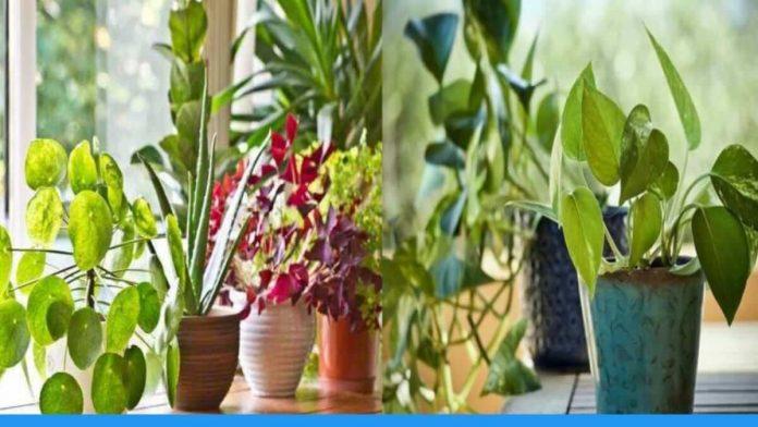 घरों को खूबसूरत बनाने के साथ ये पौधे घर मे ऑक्सीजन को भी रखेंगे मेंटेन, जानिए इंडोर प्लांट्स के बारे में ये खास बातें