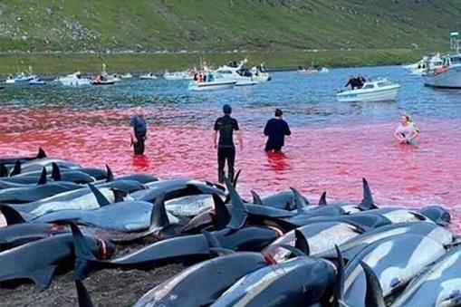 पुरानी परंपरा निभाने के लिए इस आईलैंड्स पर 1428 डॉल्फिन का कत्लेआम, समुद्र का किनारा खून से लाल